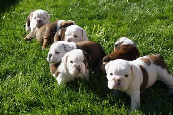 Loyal bulldog inglés cachorros