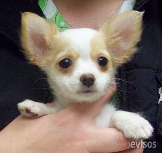 Fotos de cachorros chihuahua pelo largo 48