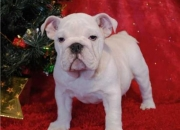 Impresionantes cachorros Bulldog Ingles