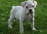 Encantadora cachorros de Boxer