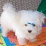 lindo y adorable cachorro maltés para su aprobación