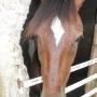 se vende caballo pinto