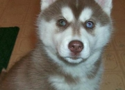 Husky cachorros para regalo de san valentín
