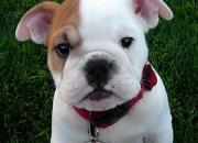 Bulldog ingles cachorros para la adopción libre