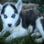 Hermosos cachorros Siberian Husky de cría de la FCI