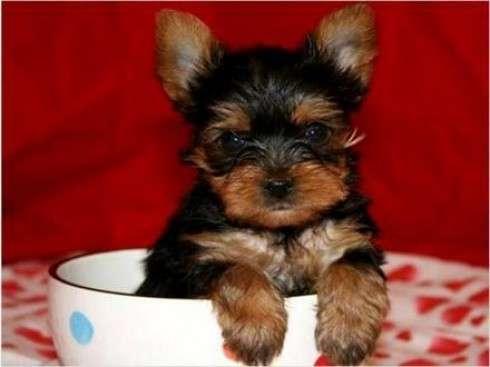 Taza de té yorkie cachorros disponibles