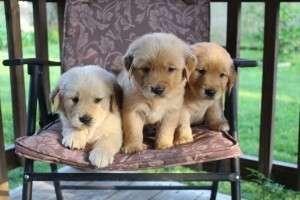 Cachorros golden vvvbnnnnnnn