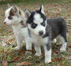 Cachorros husky siberiano 9085052563