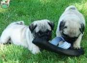 Tres increíbles pug carlino cachorros disponibles para adopción