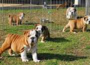 Regalo bulldog ingles