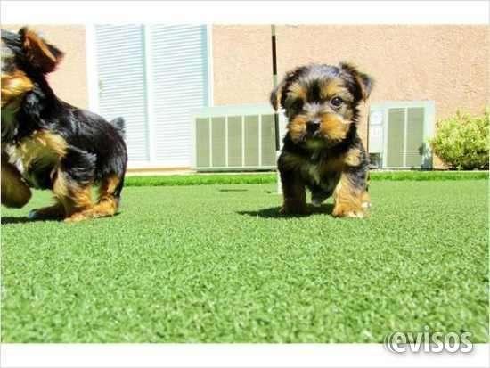 Regalo cachorros toy de yorkshire terrier,,}}111