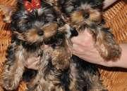 Cachorros de yorkshire terrier  disponibles