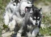 Champion bloodlines siberian husky cachorros para la navidad