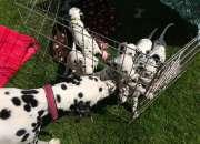 Cachorros dalmatian entrenados potty para la venta