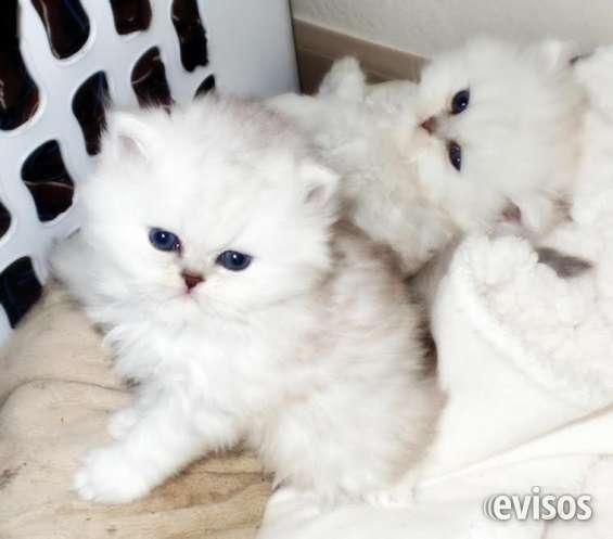 10 semanas gatitos persas ya disponibles