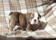 Gorgeous bulldog inglés cachorros disponibles