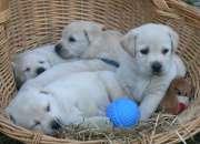 Labrador retriever amarillo disponible.